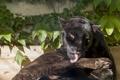 Картинка кошка, солнце, чёрный, ягуар, умывание, ©Tambako The Jaguar