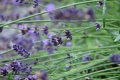 Картинка стебли, лаванда, nikon d7000