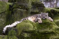 Картинка кошка, камни, отдых, мох, ирбис, снежный барс