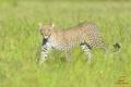 Картинка трава, хищник, леопард, саванна