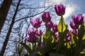 Картинка небо, солнце, деревья, цветы, весна, фиолетовые, тюльпаны