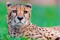 Картинка взгляд, хищник, гепард