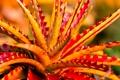 Картинка растение, листья, агава, цветок