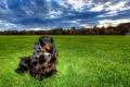Картинка поле, собака, Dachshunds