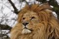 Картинка кошка, взгляд, хищник, лев, грива