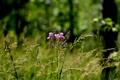 Картинка лес, цветок, трава