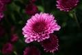 Картинка макро, цветы, розовая, хризантема