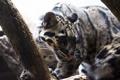 Картинка морда, свет, хищник, дикая кошка, дымчатый леопард