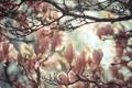 Картинка дерево, весна, магнолия