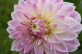 Картинка георгин, цветение, colorful, лепестки, tulips, bloom, and many