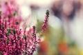 Картинка растение, эффект, боке, tilt-shift, вереск, Pink heather