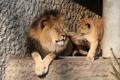 Картинка play, animals, lions, zoo