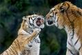 Картинка кошки, тигр, пара, клыки, оскал, злой, амурский