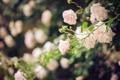 Картинка цветы, роза, куст