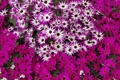 Картинка поле, макро, цветы, ромашки, розовые, много