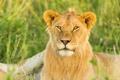 Картинка морда, интерес, хищник, лев, саванна