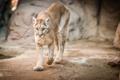 Картинка кугуар, горный лев, морда, прогулка, пума, дикая кошка, хищник