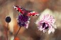 Картинка бабочка, клевер, боке