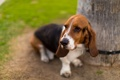 Картинка взгляд, друг, собака, Basset Hound