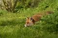Картинка трава, лиса, рыжая, в засаде