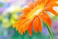 Картинка цветок, макро, flower, Close Up, beautiful yellow daisy-gerbera, красивая желтая ромашка-гербера