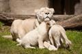 Картинка кошки, семья, львица, белые львы, львёнок, детёныши