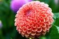 Картинка цветок, красота, георгин