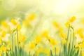 Картинка макро, блики, стебли, желтые, цветки, боке, Нарциссы