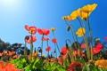Картинка цветы, природа, маки, цветение, nature, flowers, poppies bloom