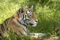 Картинка морда, тигр, отдых, хищник, лежит, профиль, дикая кошка