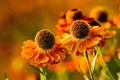 Картинка природа, гелениум, ромашки, цветы