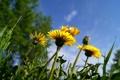 Картинка трава, цветы, одуванчик