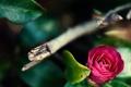 Картинка цветок, макро, природа, Camellia japonica