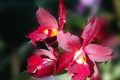 Картинка лес, American Orchid Society, dark red, Orchid, орхидея, beautiful nature wallpapers, forest