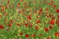 Картинка поле, лето, цветы, маки