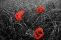 Картинка поле, цветы, растение, маки