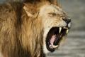 Картинка сила, пасть, Лев, lion, call, рык, force