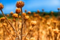 Картинка поле, небо, природа, растение, сорняк