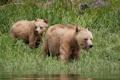 Картинка лето, природа, Grizzly Bear