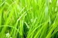 Картинка зелень, трава, тепло, растение, зелёный, сезон, сочный