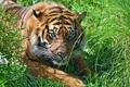 Картинка морда, трава, амурский, отдых, хищник, тигр