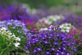 Картинка цветы, растения, размытость, фиолетовые, белые, сиреневые, клумбы