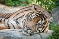 Картинка морда, суматранский, тигр, кошка