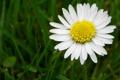 Картинка трава, ромашка, одна