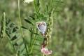 Картинка трава, макро, бабочка, весна, голубянка