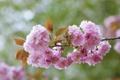 Картинка ветка, сакура, японская вишня