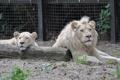 Картинка песок, кошка, семья, пара, бревно, львица, белый лев
