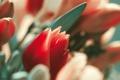 Картинка растение, тюльпаны, макро