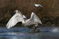 Картинка Вода, лебедь-шипун, взлёт