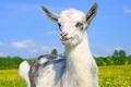 Картинка коза, козёл, козлёнок